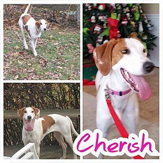 Treeing Walker Coonhound/Ibizan Hound Mix Dog for adoption in Garden City, Michigan - Cherish