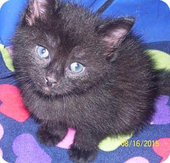 Domestic Shorthair Kitten for adoption in Adrian, Michigan - Pepper