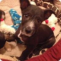 Adopt A Pet :: Teddie - Adoption Pending - Gig Harbor, WA