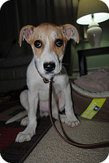 Collie/Beagle Mix Puppy for adoption in Elyria, Ohio - Penelope