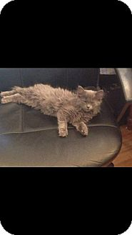 Domestic Shorthair Kitten for adoption in Nesquehoning, Pennsylvania - Binx
