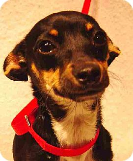 Chihuahua Puppy for adoption in Texarkana, Texas - ChaCha ADOPTED MA