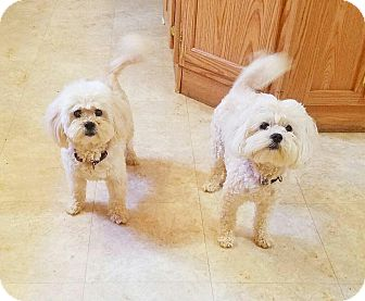 Bichon Frise/Poodle (Miniature) Mix Dog for adoption in Kendall, New York - Sissy and Sassy