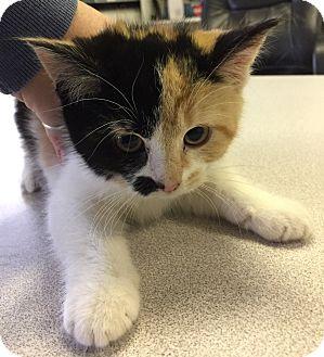 Calico Kitten for adoption in Danville, Indiana - Faith
