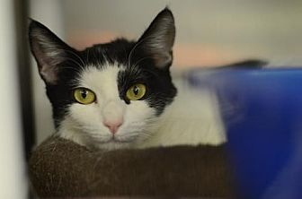 Domestic Shorthair Cat for adoption in Atlanta, Georgia - Lily162011