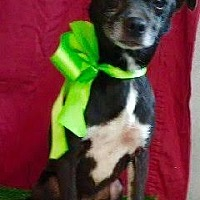 Chihuahua Mix Dog for adoption in Irvine, California - RANDY