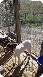 Jack Russell Terrier Mix Dog for adoption in Wytheville, Virginia - Patti