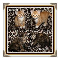 Adopt A Pet :: Captain & Tennille - Marietta, OH