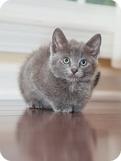 Russian Blue Kitten for adoption in Nashville, Tennessee - Blueberry