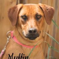 Adopt A Pet :: Muffin - Cheyenne, WY