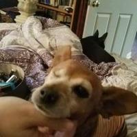 Adopt A Pet :: Saffron - Boonville, MO