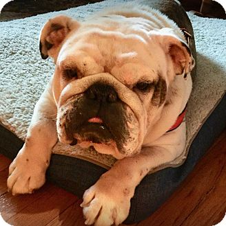 English Bulldog Dog for adoption in Chicago, Illinois - Lilly Bell