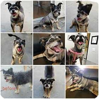 Standard Schnauzer/Terrier (Unknown Type, Medium) Mix Dog for adoption in sylmar, California - Franny