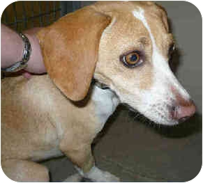 Beagle Mix Dog for adoption in San Clemente, California - ROXY