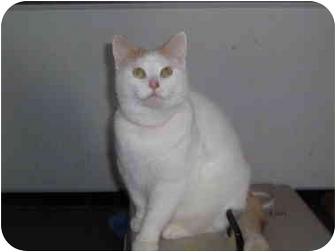 Domestic Shorthair Cat for adoption in Hamburg, New York - Tyrone