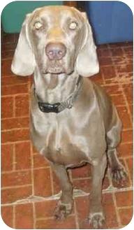 Weimaraner Dog for adoption in Grand Haven, Michigan - Autumn