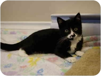 Domestic Shorthair Kitten for adoption in Saanichton, British Columbia - Snickers