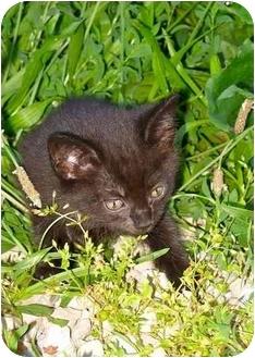 Domestic Shorthair Kitten for adoption in Metamora, Indiana - Janel