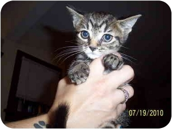 Domestic Shorthair Kitten for adoption in Cleveland, Ohio - Laverne