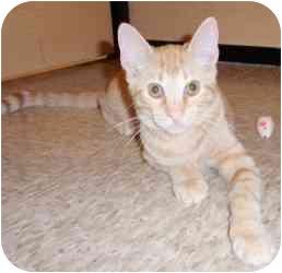 Domestic Shorthair Kitten for adoption in Houston, Texas - Tosh