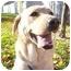 Photo 2 - Labrador Retriever Dog for adoption in Provo, Utah - Amie
