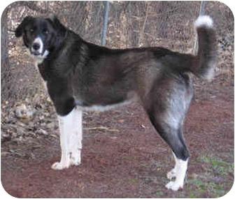 Newfoundland/Great Pyrenees Mix Dog for adoption in Tuttle, Oklahoma - Zoe