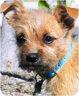 Yorkie, Yorkshire Terrier/Poodle (Toy or Tea Cup) Mix Puppy for adoption in Wakefield, Rhode Island - SAGE(TINY SCRUFFY PUPPY!)