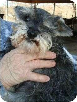 Schnauzer (Miniature) Dog for adoption in Harrisonburg, Virginia - Miss Patty Green