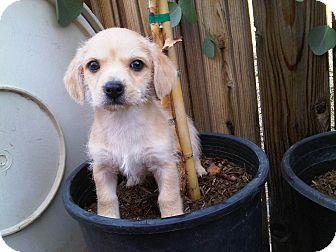 Dachshund Mix Puppy for adoption in Tustin, California - Tanner