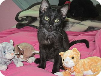 Domestic Shorthair Kitten for adoption in Wood Dale, Illinois - Amelia