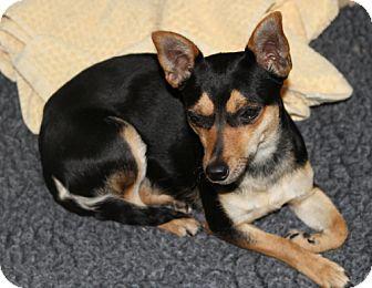Chihuahua Mix Dog for adoption in Sacramento, California - Jewell