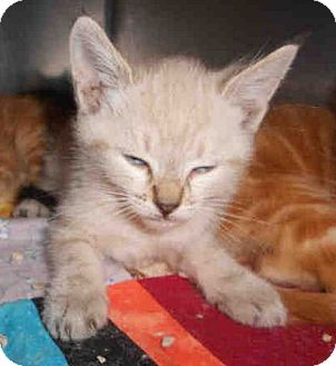 Siamese Kitten for adoption in Yuba City, California - 9/22 Siamese Mix Girl