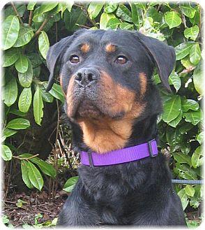 Rottweiler Dog for adoption in Seattle c/o Kingston 98346/ Washington State, Washington - Elizabeth