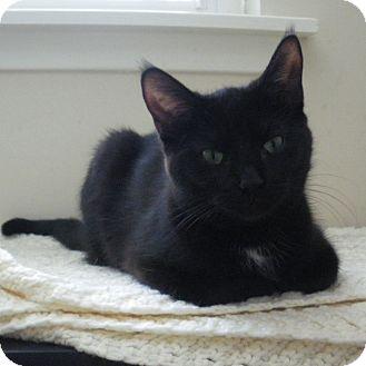 Domestic Shorthair Kitten for adoption in Toronto, Ontario - Felicity