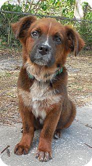 Australian Shepherd Mix Puppy for adoption in Ormond Beach, Florida - Betty