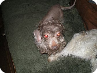 Dachshund/Chinese Crested Mix Dog for adoption in Apex, North Carolina - Levi
