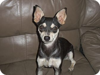 Miniature Pinscher/Terrier (Unknown Type, Small) Mix Dog for adoption in Mission Viejo, California - NEYA