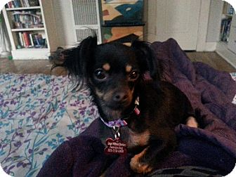 Chihuahua/Spaniel (Unknown Type) Mix Dog for adoption in Encino, California - Lacy
