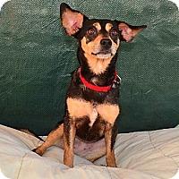 Miniature Pinscher Mix Dog for adoption in Bonsall, California - Lola