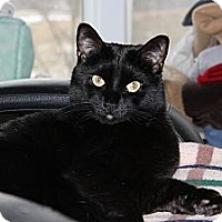 Domestic Shorthair Cat for adoption in Maxwelton, West Virginia - Bear