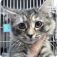 Adopt A Pet :: Fluffy Muffy - St. Petersburg, FL
