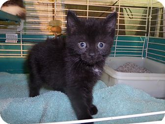 Domestic Mediumhair Kitten for adoption in East Brunswick, New Jersey - Camry