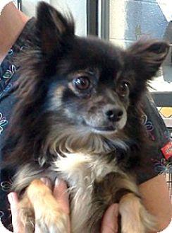 Pomeranian/Papillon Mix Dog for adoption in Sunnyvale, California - Dudley