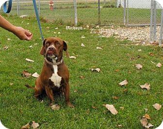 Labrador Retriever Mix Dog for adoption in Napoleon, Ohio - Buckeye