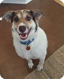 Border Collie/Beagle Mix Dog for adoption in Baltimore, Maryland - Smiley
