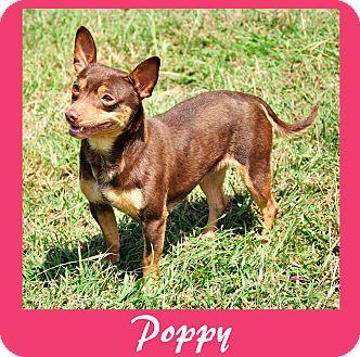 Chihuahua Dog for adoption in Hillsboro, Texas - Poppy