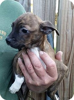 Chihuahua/Terrier (Unknown Type, Small) Mix Puppy for adoption in Gainesville, Florida - Lonnie
