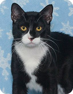 Domestic Shorthair Cat for adoption in Elmwood Park, New Jersey - Domino