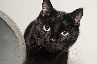 Domestic Shorthair Cat for adoption in Los Angeles, California - Sashimi