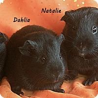 Adopt A Pet :: Natalie, Sweet Pea & Dahlia - Santa Barbara, CA